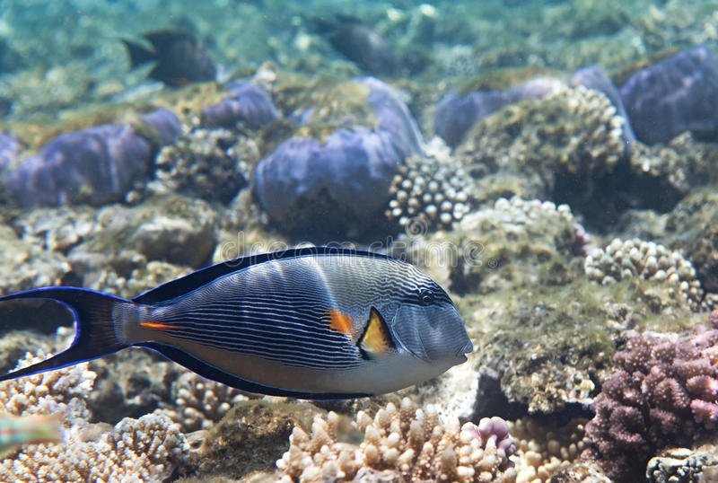 Download Sohal surgeonfish stock photo. Image of underwater, flora - 14417254