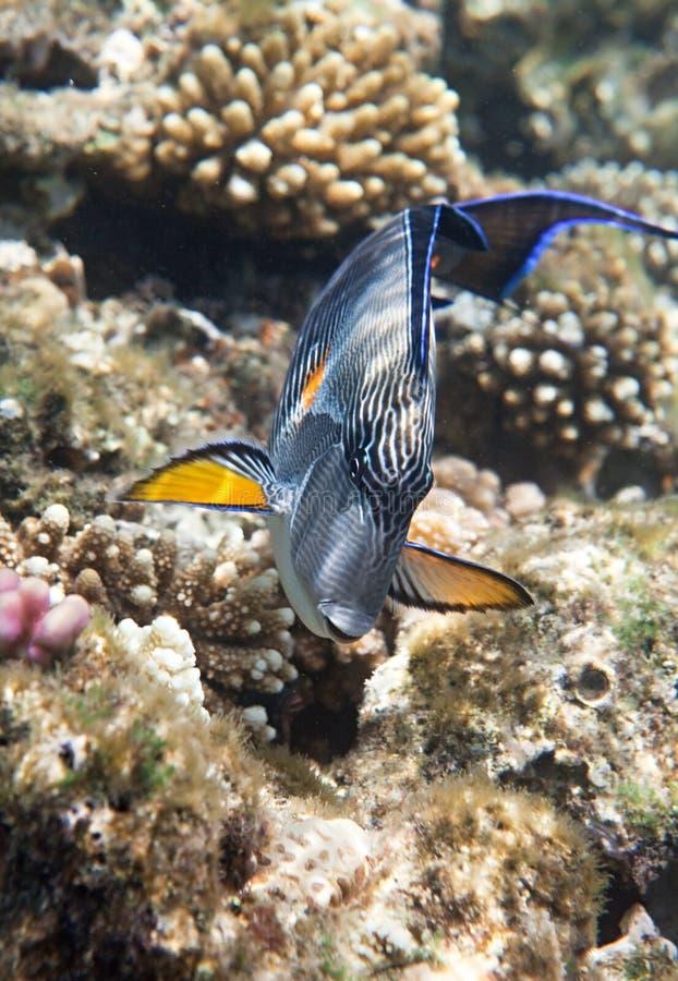 Download Sohal surgeonfish stock photo. Image of fish, coral, swims - 14417268