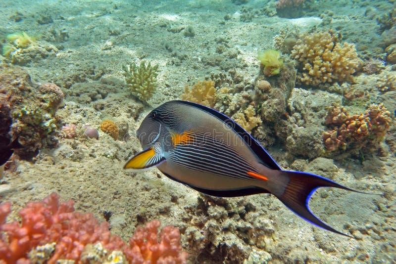 sohal surgeonfish стоковое изображение rf
