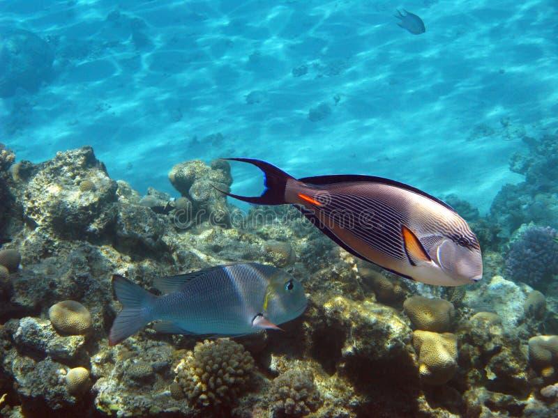 sohal surgeonfish fotografering för bildbyråer