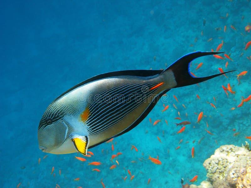 Sohal surgeonfish en koraalrif royalty-vrije stock fotografie
