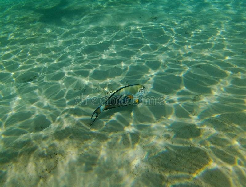 Sohal tang fish in the red sea Egypt , Hurghada summer royalty free stock photo