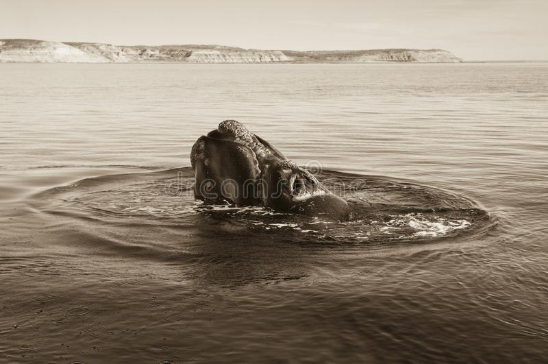 Sohutern right whale, endangered species,. Patagonia royalty free stock photo
