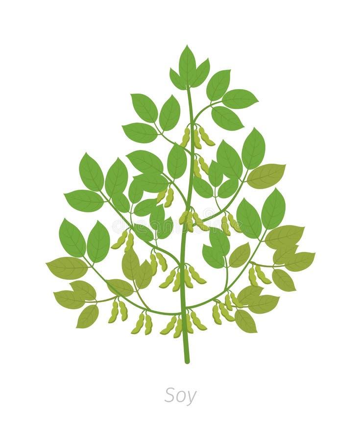 Soi ro?lina Soya fasola Glicyna max Roślina z liśćmi i strąkami fasole ilustracja wektor