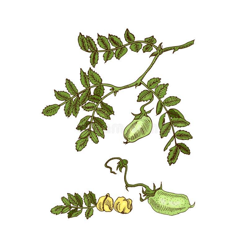Soia disegnata a mano di schizzo, cece, fagiolo, pianta di lenticchia Illustrazione di vettore illustrazione vettoriale