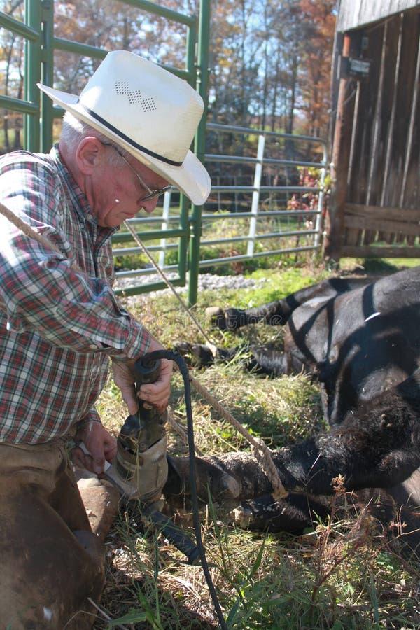 Soigner le sabot de taureaux photo stock