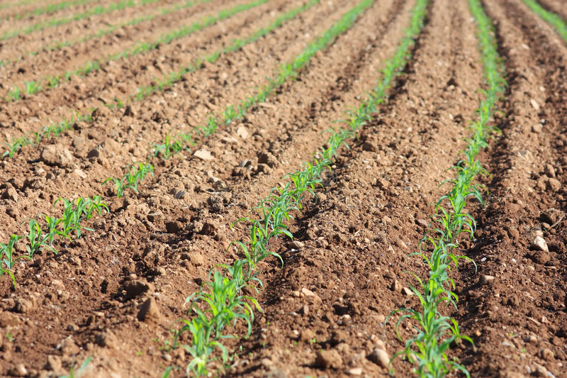 Soil field with corn germ. Green corn germ on a field royalty free stock photography