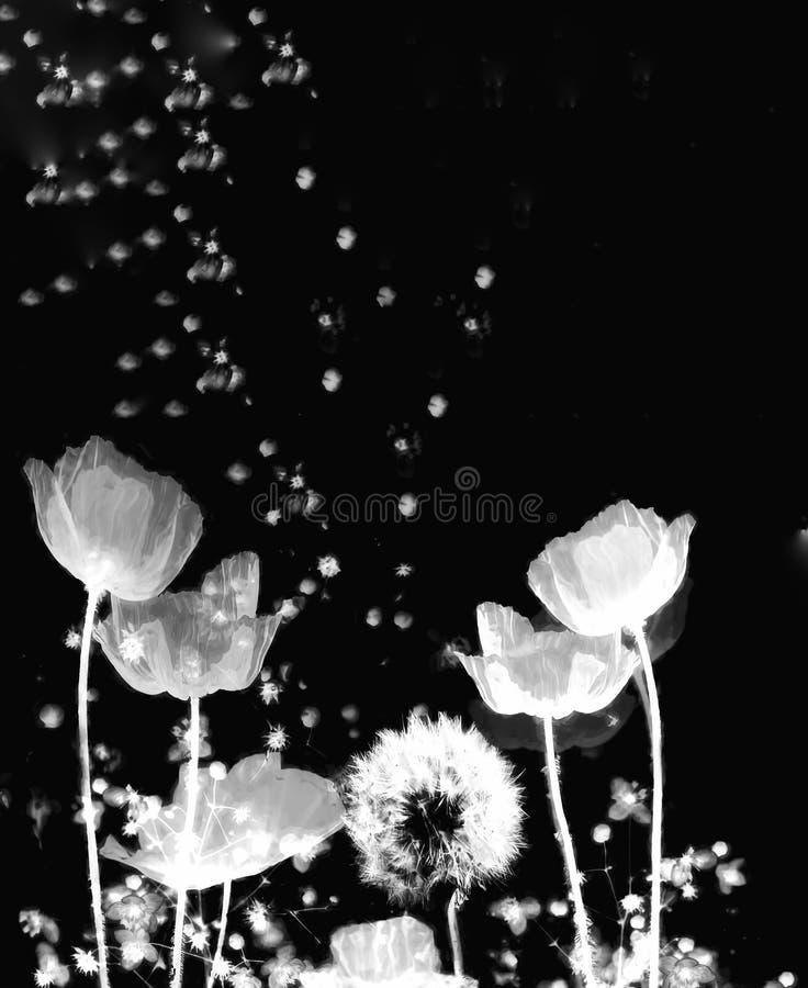 Soil. X-ray flowers black dandelion stock image