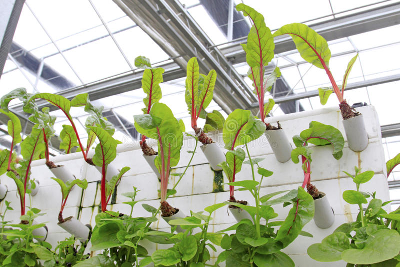 Soilless cultivation vegetables. In a greenhouse, north china royalty free stock photos