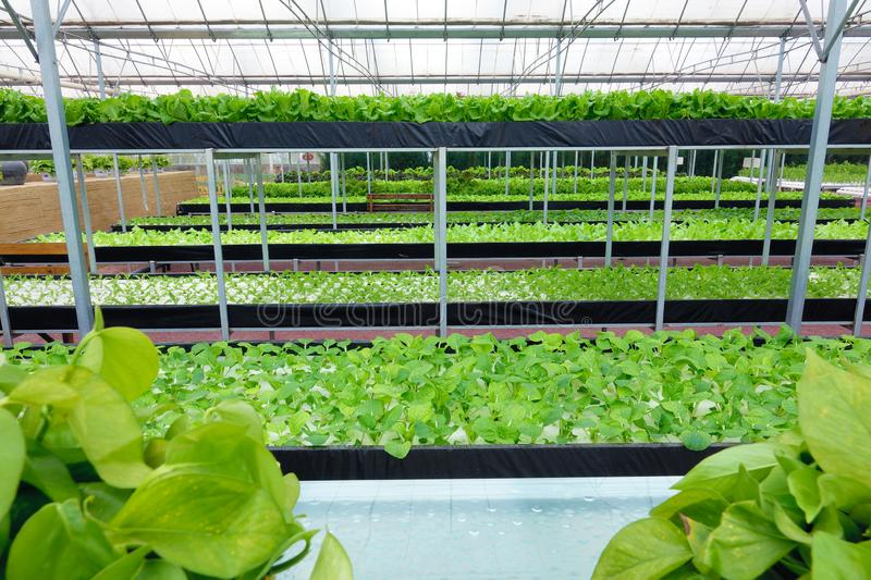 Soilless greenhouse. The indoor view of soilless greenhouse stock photo
