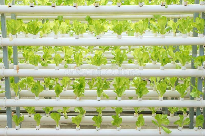 Soilless vegetable культивирование стоковая фотография rf