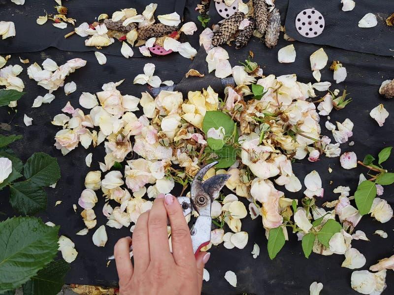 Soin du jardin et des fleurs des roses images stock