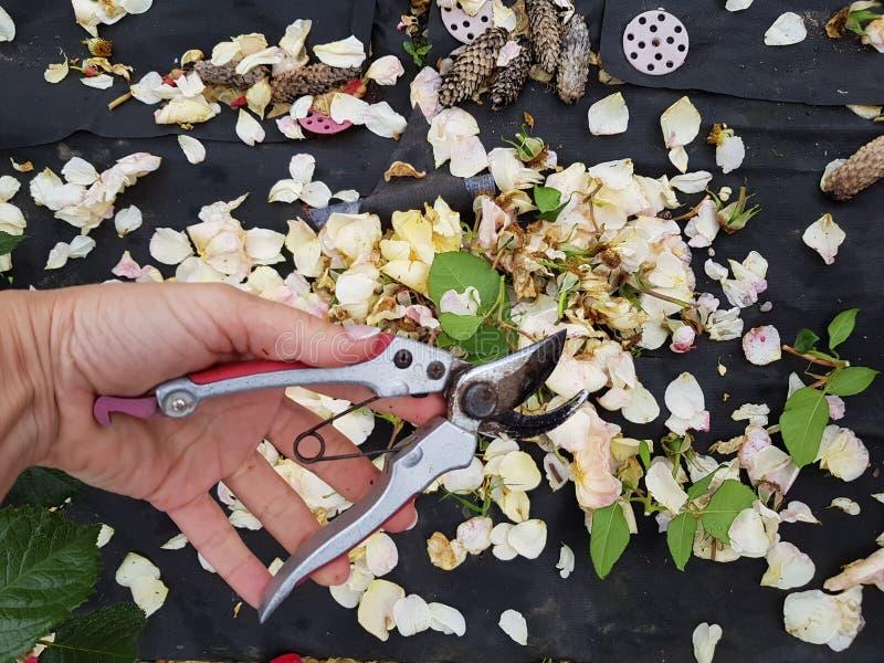 Soin du jardin et des fleurs des roses photo libre de droits