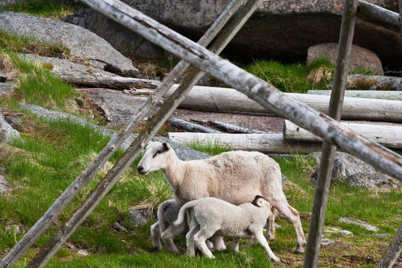 Soins de moutons photographie stock
