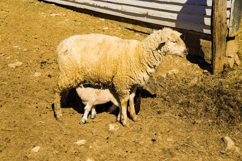 Soins de moutons de mère son bébé photo stock