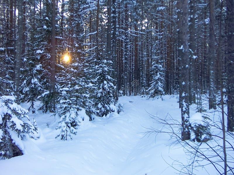 Soirée d'hiver dans le pinery images libres de droits