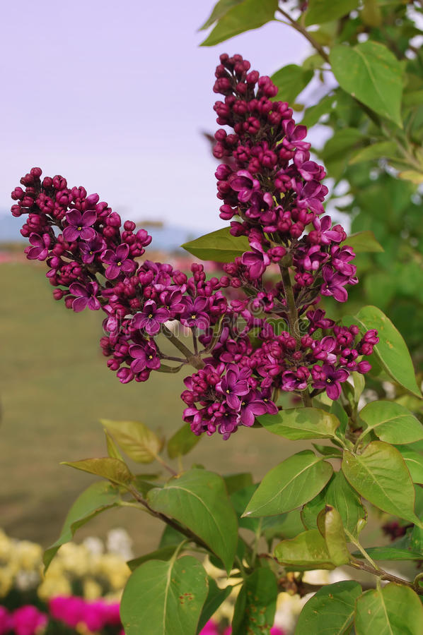 Soirée lilas de source. images stock
