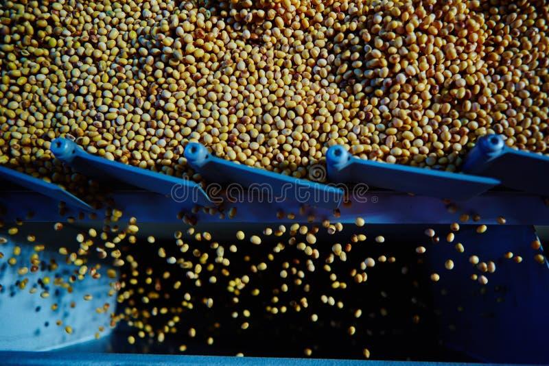 Soja Bean Seed vóór barst Ondiepe DOF stock afbeelding