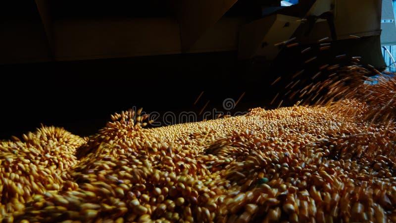 Soja Bean Seed vóór barst Ondiepe DOF stock foto's