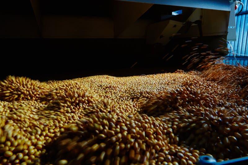Soja Bean Seed vóór barst Ondiepe DOF royalty-vrije stock foto