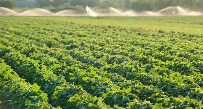 Soja croissant photo libre de droits