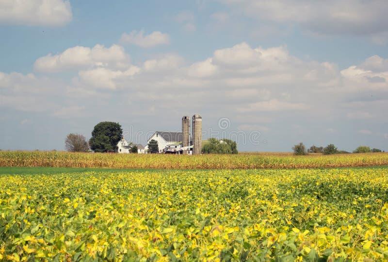 Sojabönafält i sen sommar arkivfoton