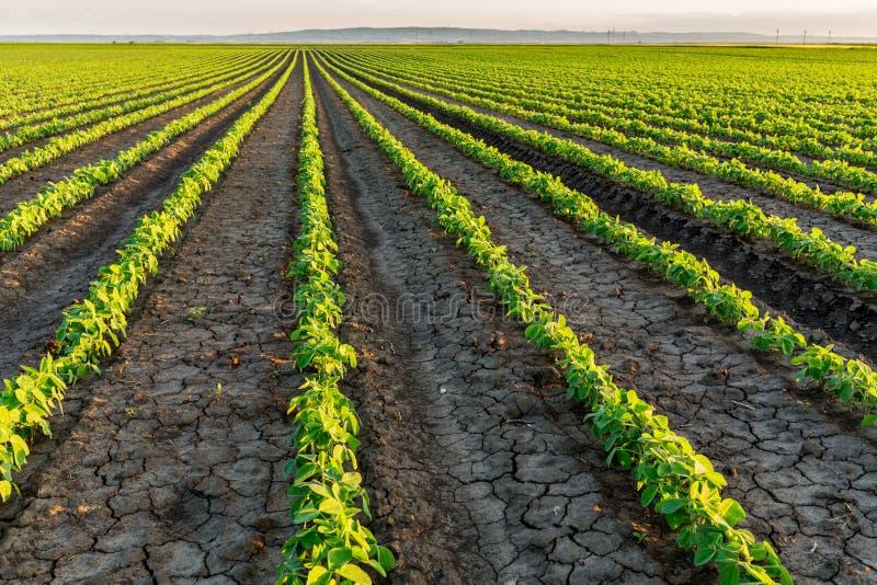 Sojabönafält som mognar på vårsäsongen, jordbruks- landskap arkivfoton