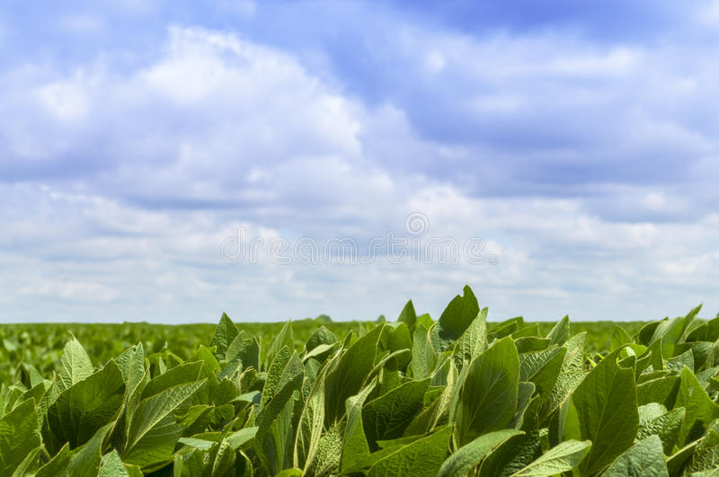 Sojabönor Bean Field royaltyfri bild