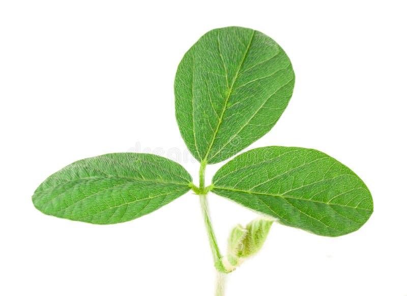 Sojabohnenölblatt stockfoto