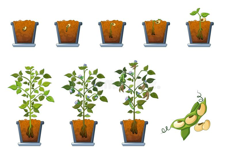 Sojabohnenölbohnen-Samensprössling in den Topfikonen stellte, flache Art ein stock abbildung