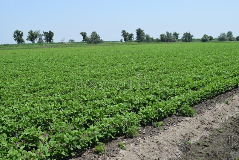 Sojabohnen, die auf dem Gebiet wachsen stockbild