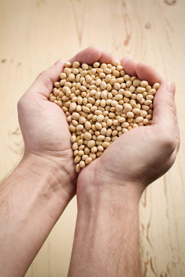 Sojabonen in handen stock foto