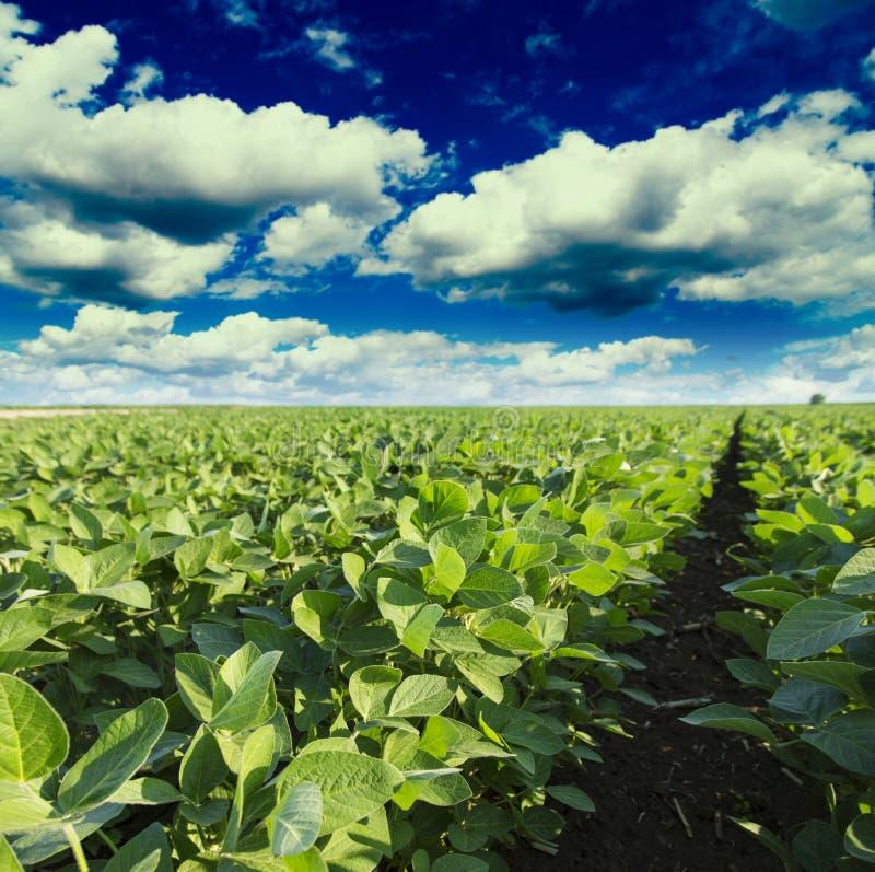 Sojaboongebied die bij lentetijd, landbouwlandschap rijpen stock foto's