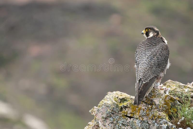 Sokoła wędrownego jastrząbek na skale Męski portret, Falco peregrinus zdjęcia royalty free