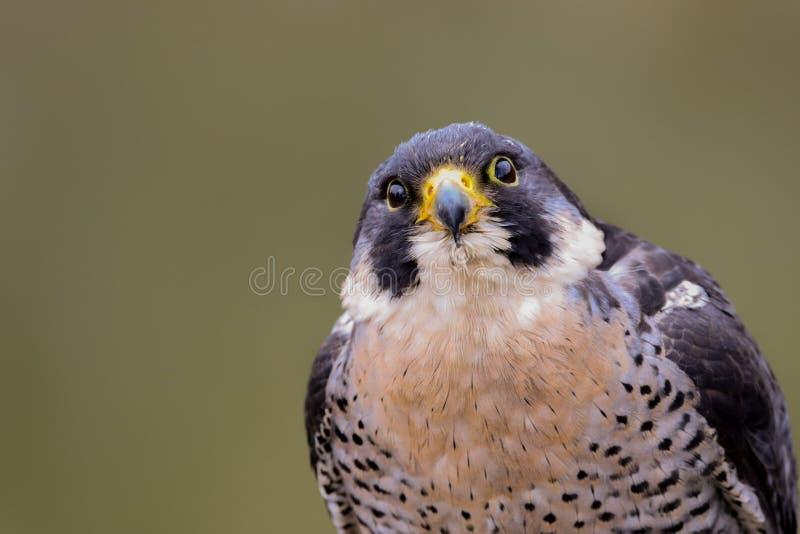 Sokoła wędrownego jastrząbka Falco peregrinus ptak zdobycz obraz stock
