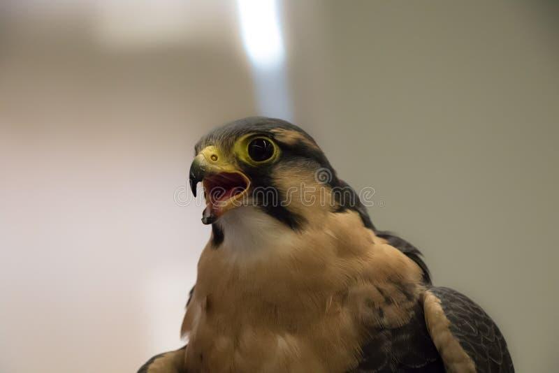 Sokoła wędrownego jastrząbka zakończenie w górę portreta - Falco peregrinus obraz stock
