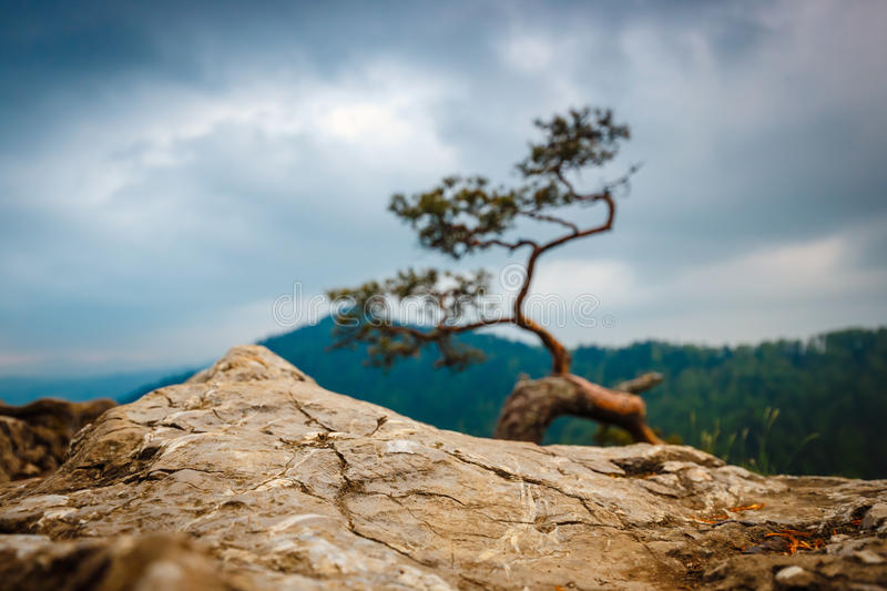 Sokolica peak in Pieniny Mountains with a famous pine at the top. Poland stock images