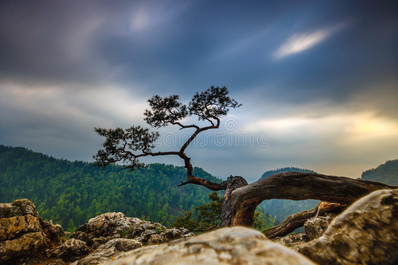 Sokolica peak in Pieniny Mountains. With a famous pine at the top, Poland stock photos