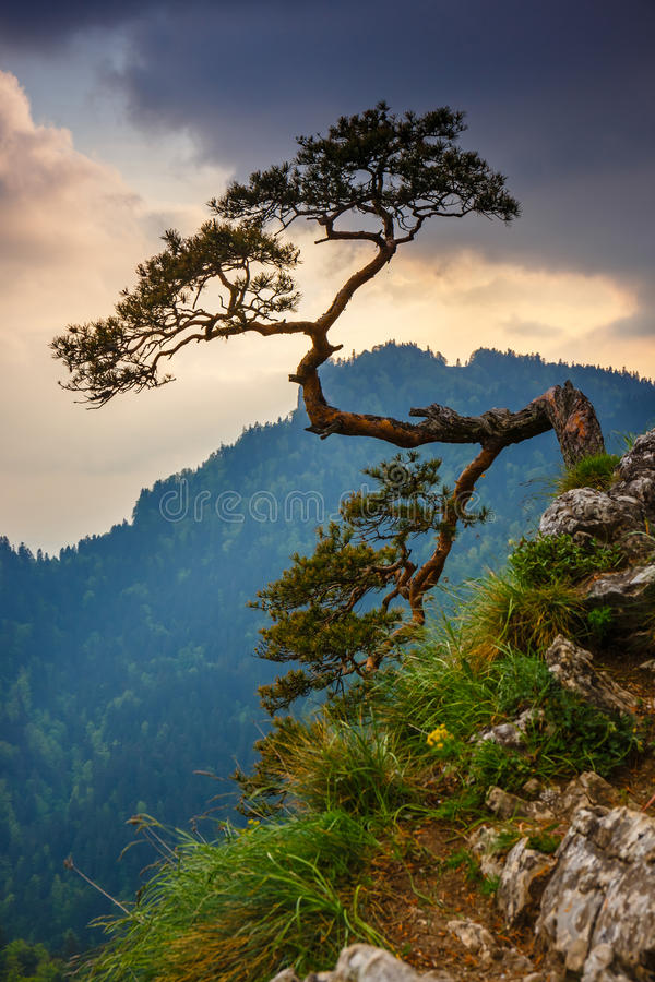 Sokolica peak in Pieniny Mountains. With a famous pine at the top, Poland royalty free stock photos