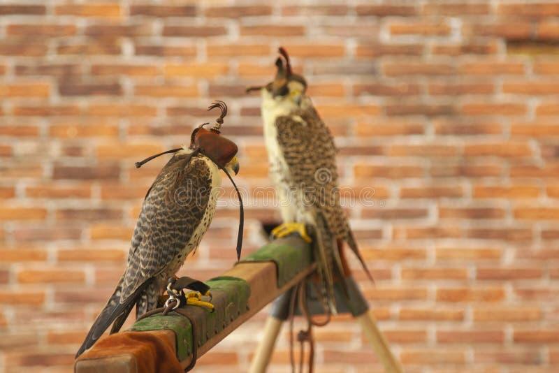 Sokolnictwo drapie?czy ptak okapturzaj?cy jastrz?b obrazy royalty free
