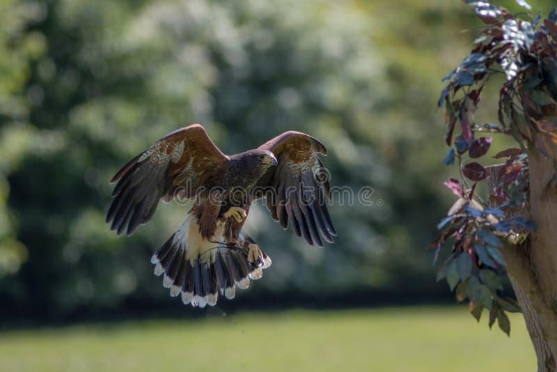 Sokolnictwo Harris jastrzębia ptak zdobycz w lota polowaniu obraz royalty free