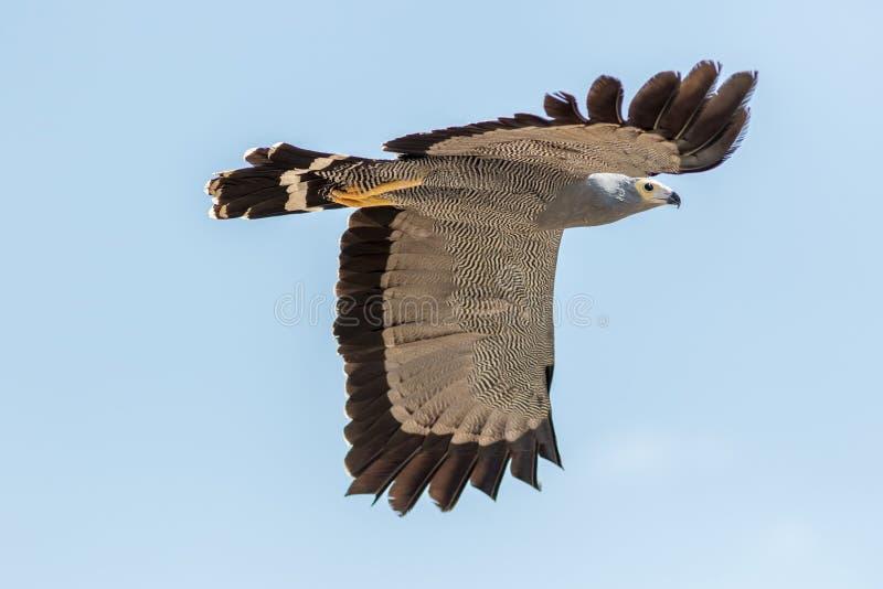 Sokolnictwo i ornitologia Afrykański jastrzębia ptak zdobycza isol fotografia stock