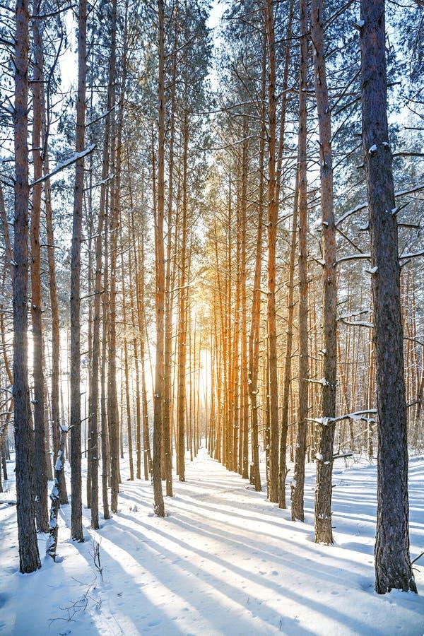 Sol brillante en el bosque del invierno con los árboles cubiertos con hoarfros fotos de archivo libres de regalías