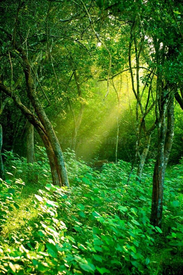 Sol da manhã em uma floresta húmida enevoada fotografia de stock royalty free