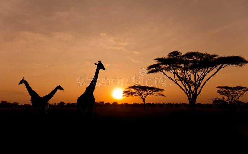 Sol de configuración con las siluetas de jirafas en safari fotografía de archivo libre de regalías