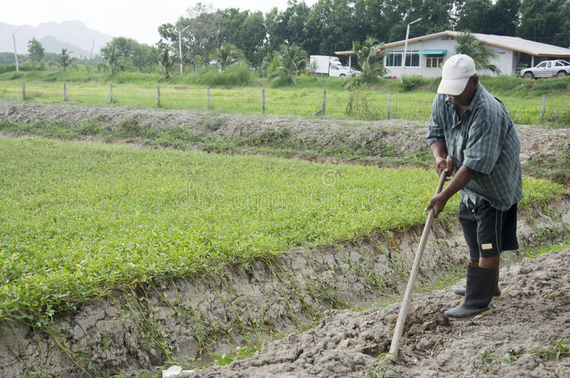 Sol de creusement de vieil homme à la terre pour planter l'arbre et élever le veg photographie stock