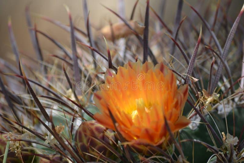 Sol de la mañana en una floración del cactus de barril imagenes de archivo