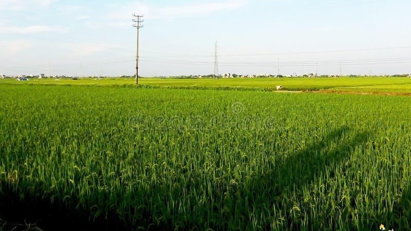 Sol de la tarde en los campos amarillos del arroz fotografía de archivo libre de regalías