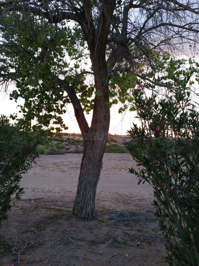 Sol de ocultación de la vida del árbol solitario imagen de archivo libre de regalías