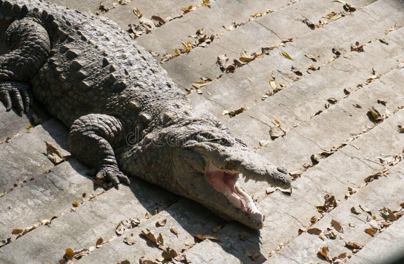 Sol del cocodrilo del asaltante que toma el sol foto de archivo